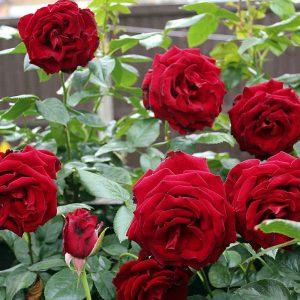 red-rose-1